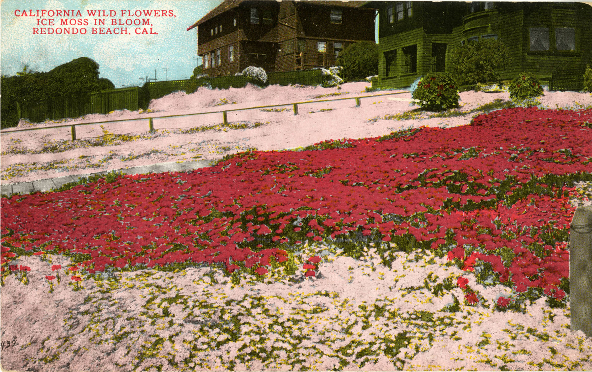 Postcard showing ice moss in bloom in Redondo Beach, ca. 1910. Courtesy of the James H. Osborne Photograph Collection, CSUDH Archives.