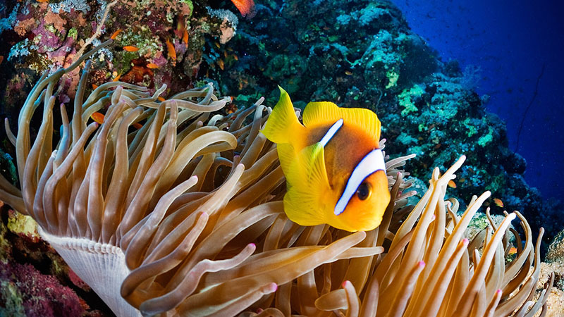 Clownfish on the Great Barrier Reef | Photo: GreensMPs