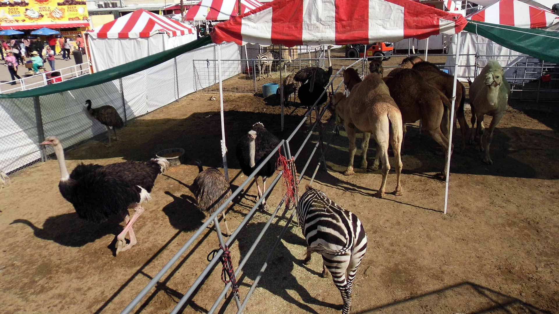 Ostriches, Zebras, Camels at the Riverside County Fair