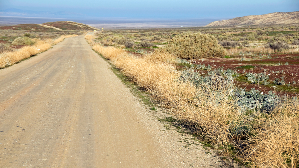 A roadside patch of buckwheat | Photo: Phil Augustavo/iStockPhoto