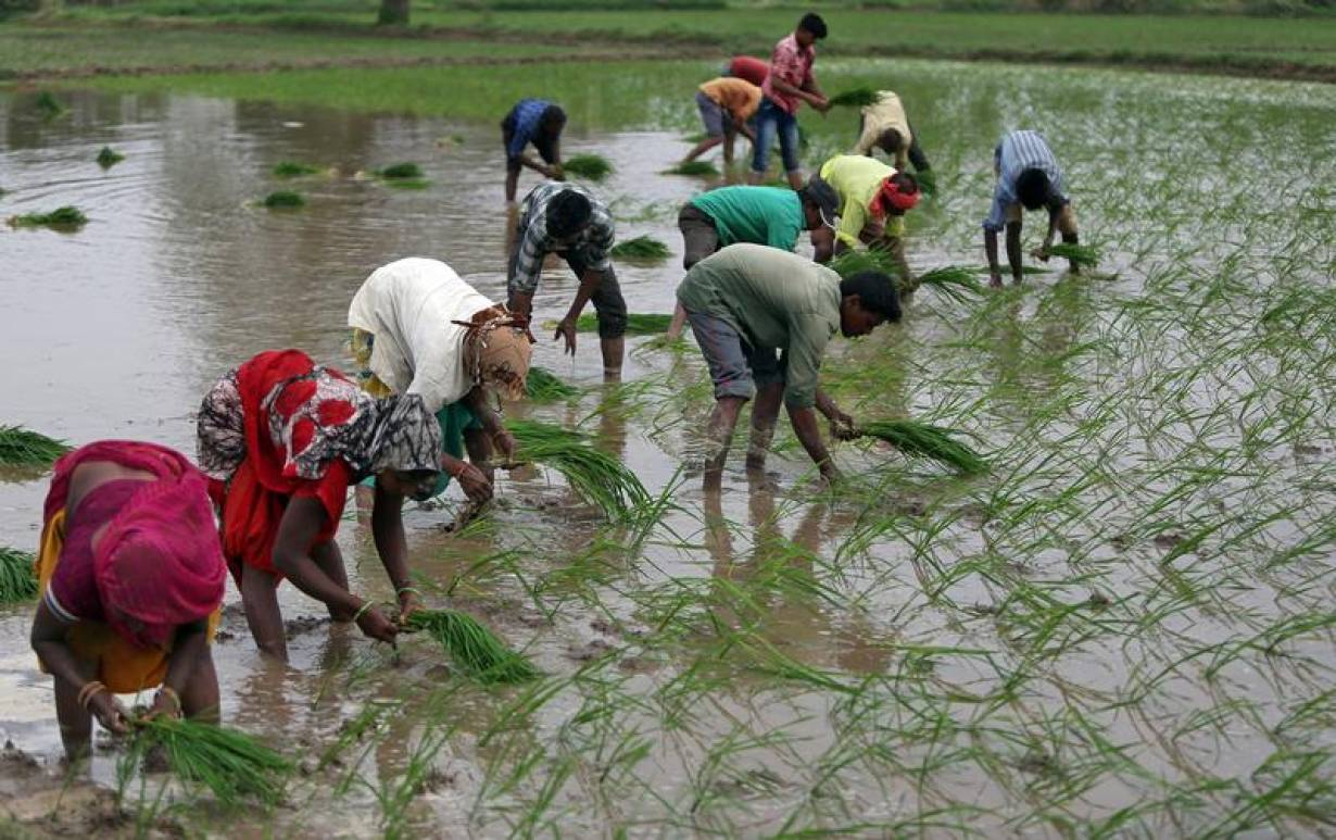 Farmers plant saplings in a rice field on the outskirts of Ahmedabad, India, July 5, 2019.   REUTERS/Amit Dave