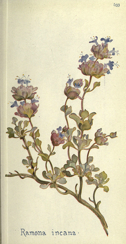 Sage | Biodiversity Heritage Library | Field Book of Western Wildflowers, London, 1915 (CC BY-NC-SA 2.0)