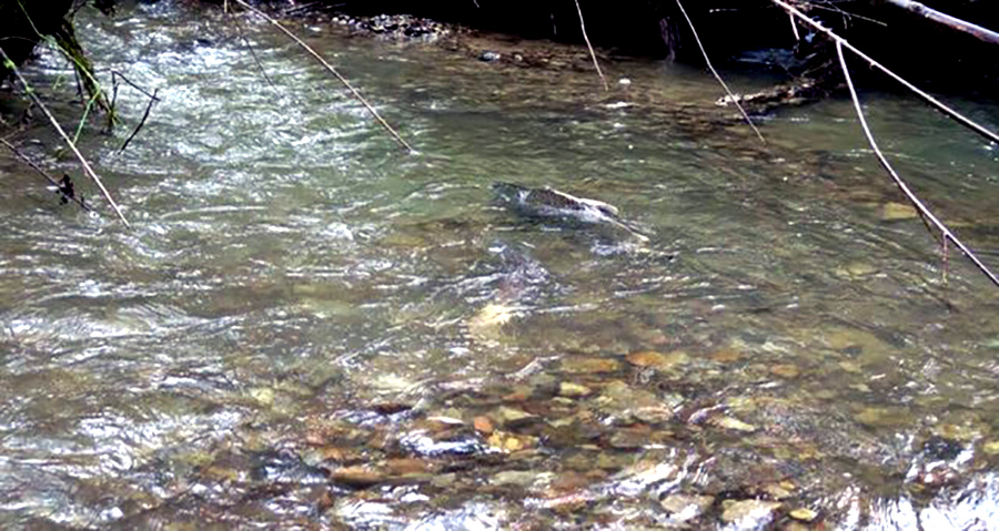 salmon in mill creek
