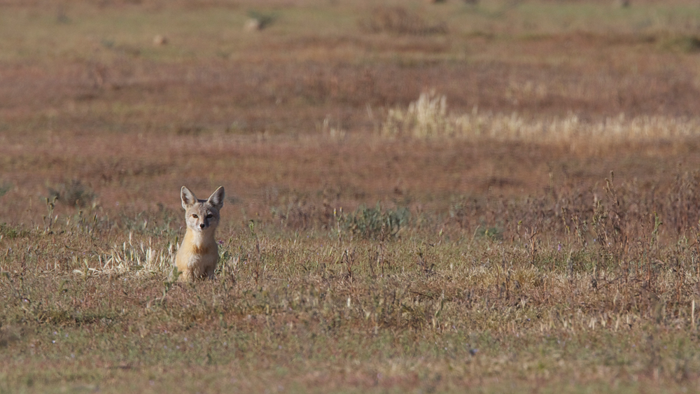 """A San Joaquin Kit Fox in the Carrizo Plain 