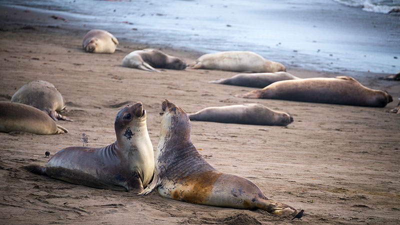 Sea lions sparring at Piedras Blancas