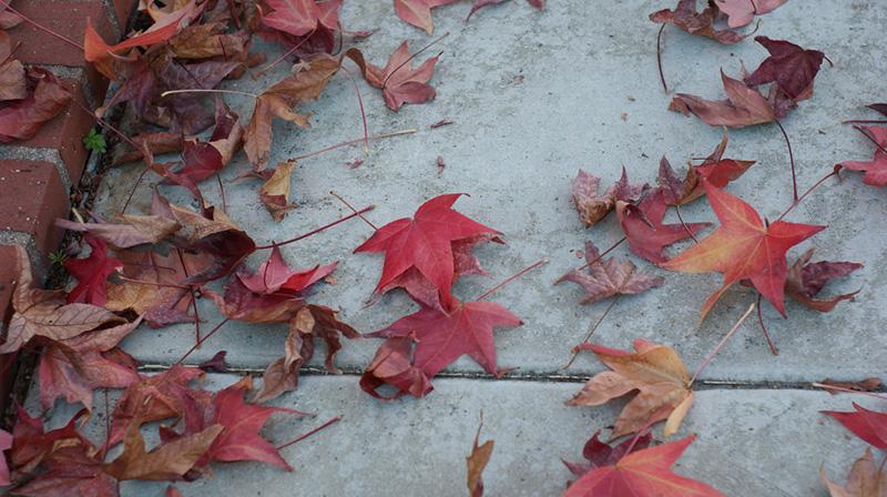 sidewalk-liquidambar-leaves-9-10-16.jpg