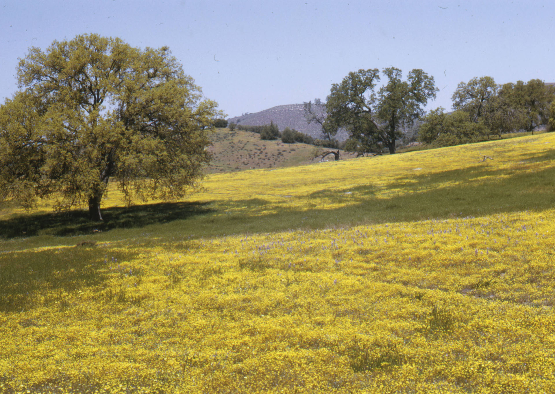Relict wildflower fields survive. This photo shows California goldfields in San Luis Obispo County. Courtesy of the Larry Oglesby Collection, Claremont Colleges Digital Library.