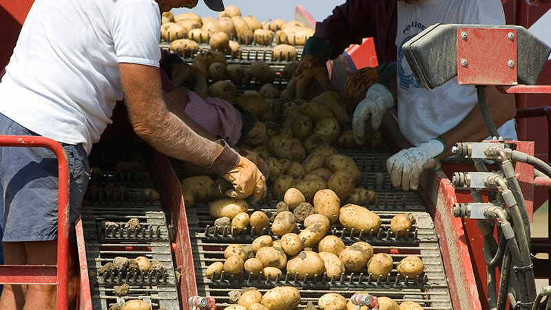 Farm workers sort potatoes. Photo: Ridofranz