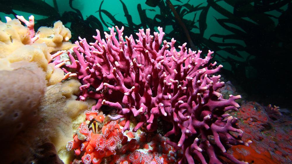 Purple hydrocoral near Carmel | Photo: Chad King, NOAA/Monterey Bay National Marine Sanctuary