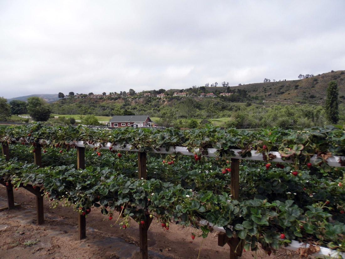 Tanaka Farms, Strawberry Picking