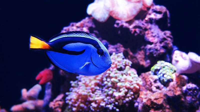 This captive blue tang doesn't look thrilled. | Photo: Stéphane Duquesne, some rights reserved