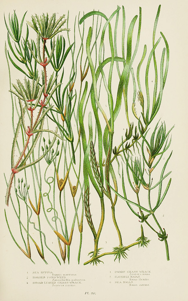 Zostera Marina (fig. 3) is one of the most common native seagrasses to California. | Biodiversity Heritage Library