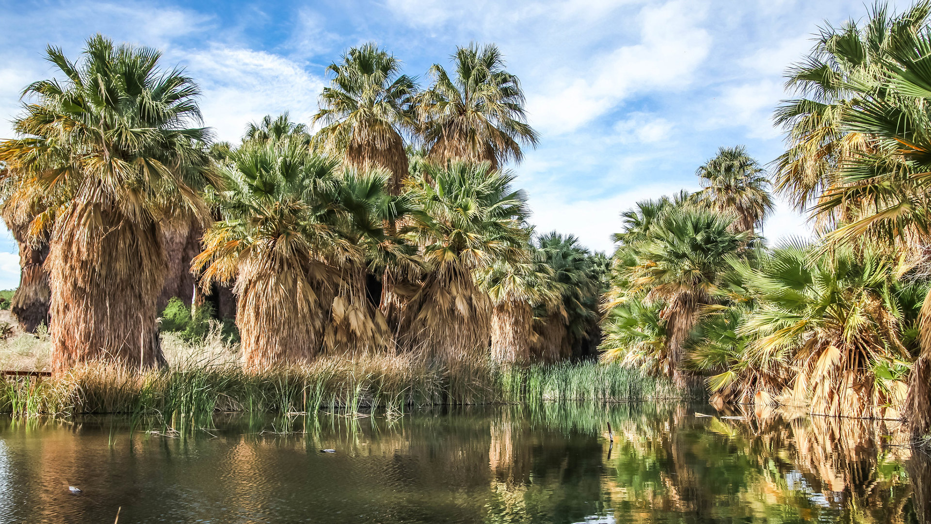 Palm trees surrounding water at Thousand Palms Oasis