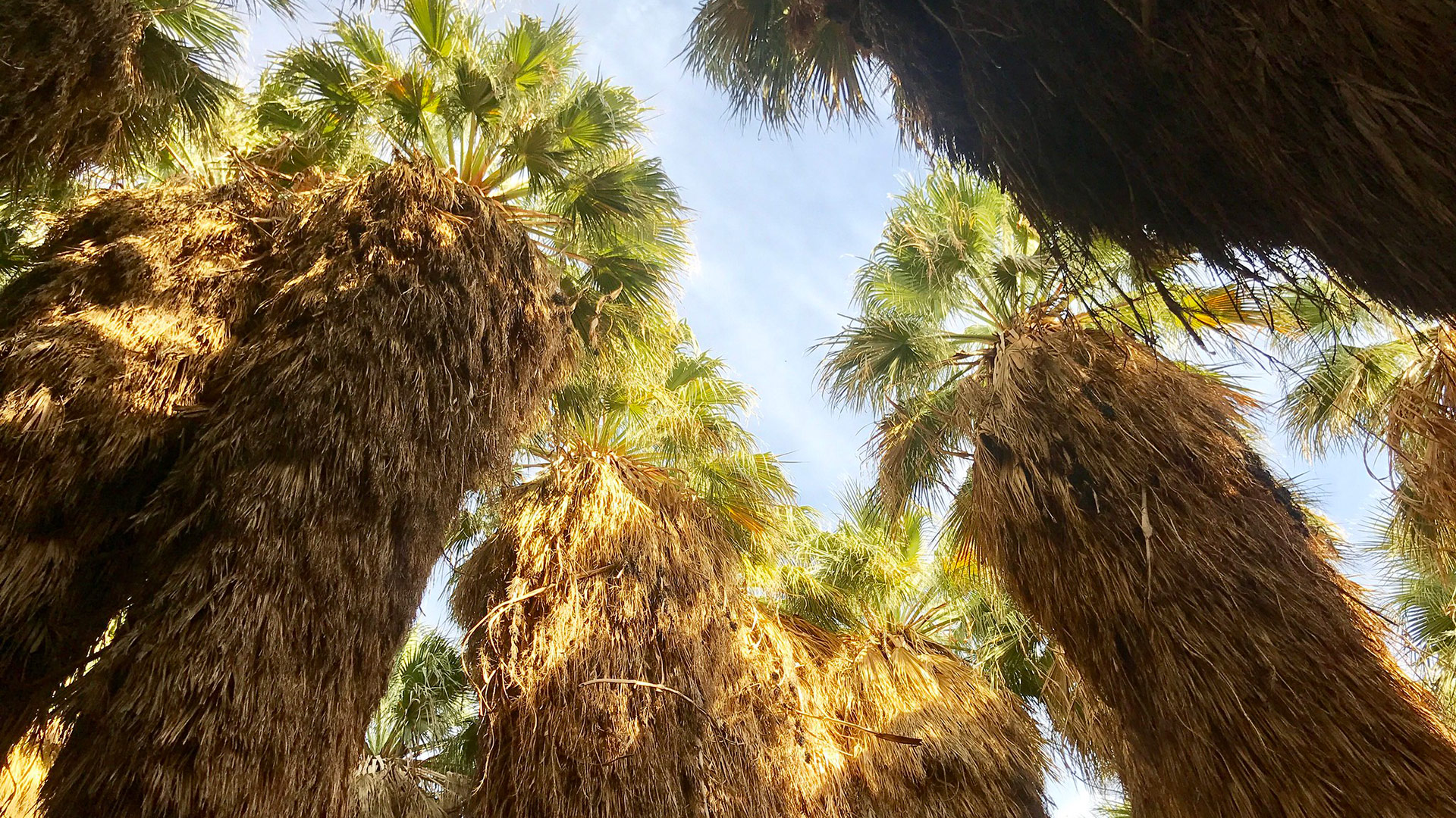 Looking up at palm trees at Thousand Palms Oasis