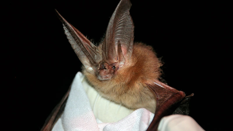 Townsend's big eared bat, one of the species found with the white nose fungus in Texas | Photo: Ann Froschauer, USFWS