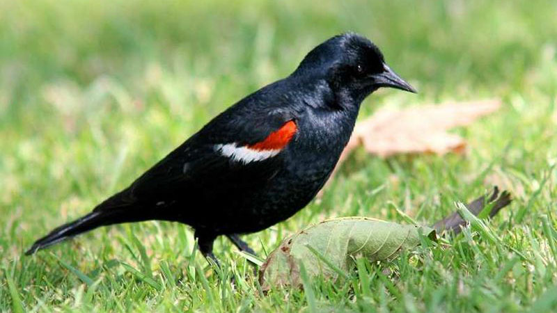 Tricolored blackbird | Photo: Monte Taylor, some rights reserved