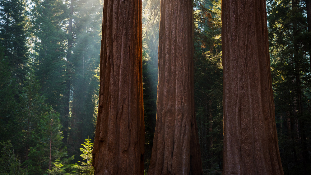 Giant sequoia trunks | Photo: Michael E. Gordon
