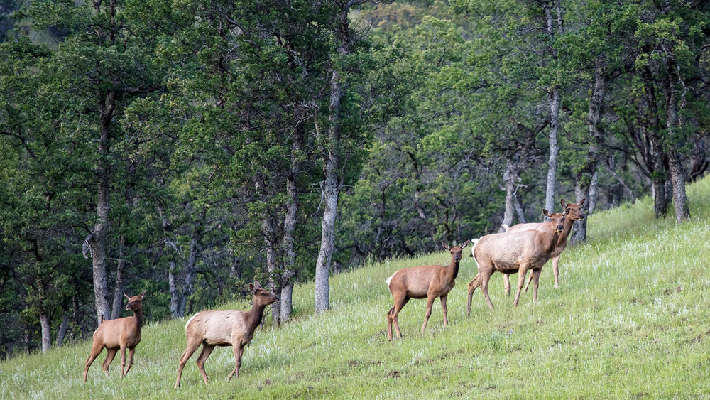 Tule Elk in Berryessa Snow Mountain National Monument | Photo: Bob Wick, BLM