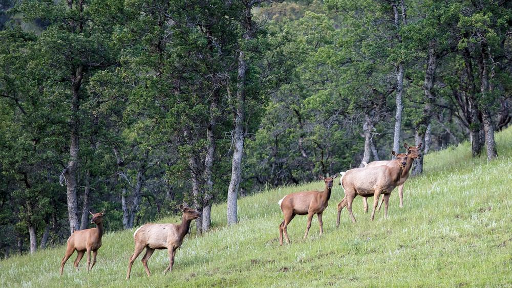 Tule Elk in Berryessa Snow Mountain National Monument | Photo: Bob Wick, BLM
