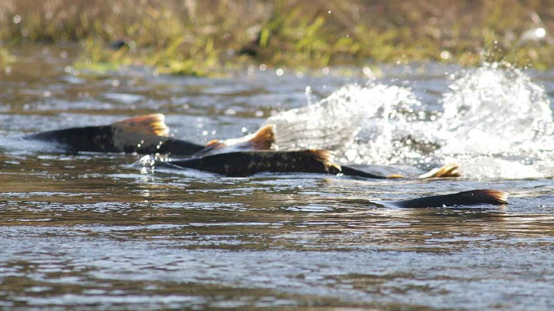 tuolumne-salmon-9-23-16.jpg