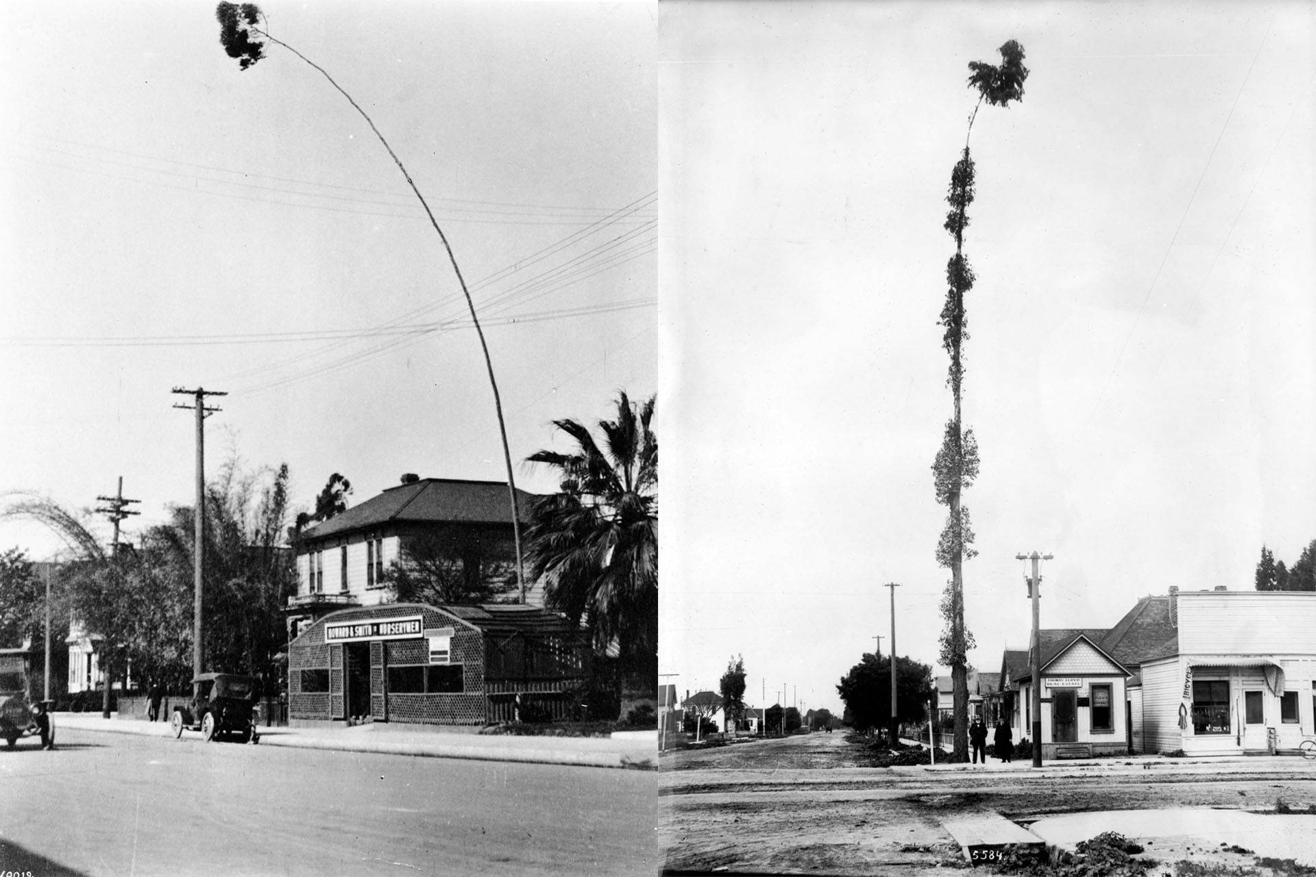 This eucalyptus tree at Olive and 9th measured 134 feet before a windstorm toppled it in 1915. Courtesy of the Title Insurance and Trust / C.C. Pierce Photography Collection, USC Libraries.