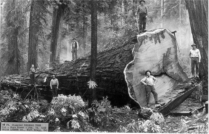 18 ft. diameter redwood tree cut- Noyo River- Jan. 10, 1933 Union Lumber Co., Fort Bragg, Cal. Photo credit: Frederick's Studio