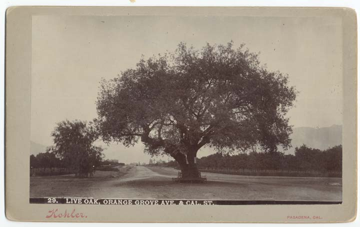 A picture postcard view of the live oak at Orange Grove and California