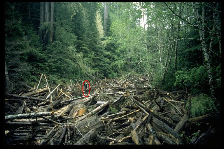 collapsed logging road created a debris torrent that resulted in countless downed trees and 100,000 cubic yards (or 10,000 dump trucks) of sediment. (Person circled in red shown for scale.) |