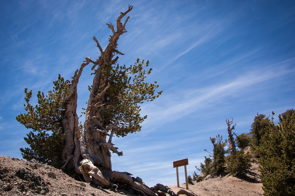 The 1,500-year-old Wally Waldron tree | Photo: Chetan Kolluri, some rights reserved