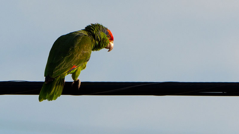Parrot greets the morning on a West Covina power line.   Photo: John Liu, some rights reserved