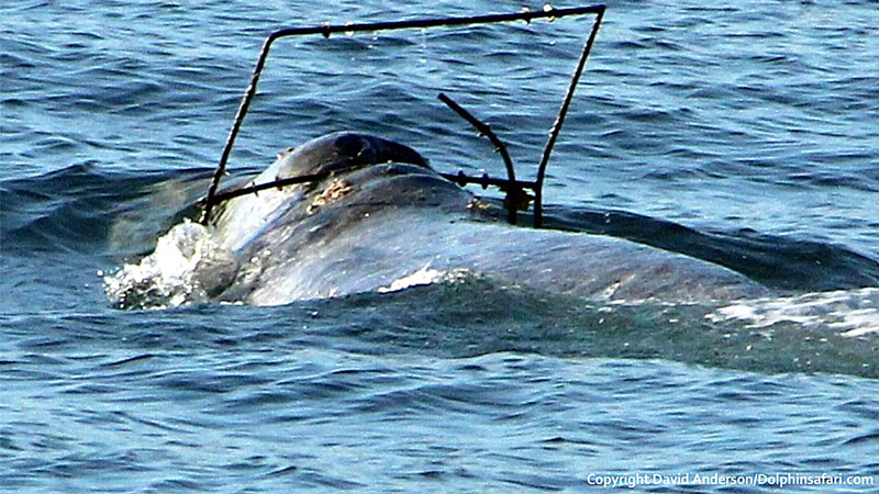 Gray whale caught in discarded fishing equipment | Photo: Craig DeWitt/DolphinSafari.com
