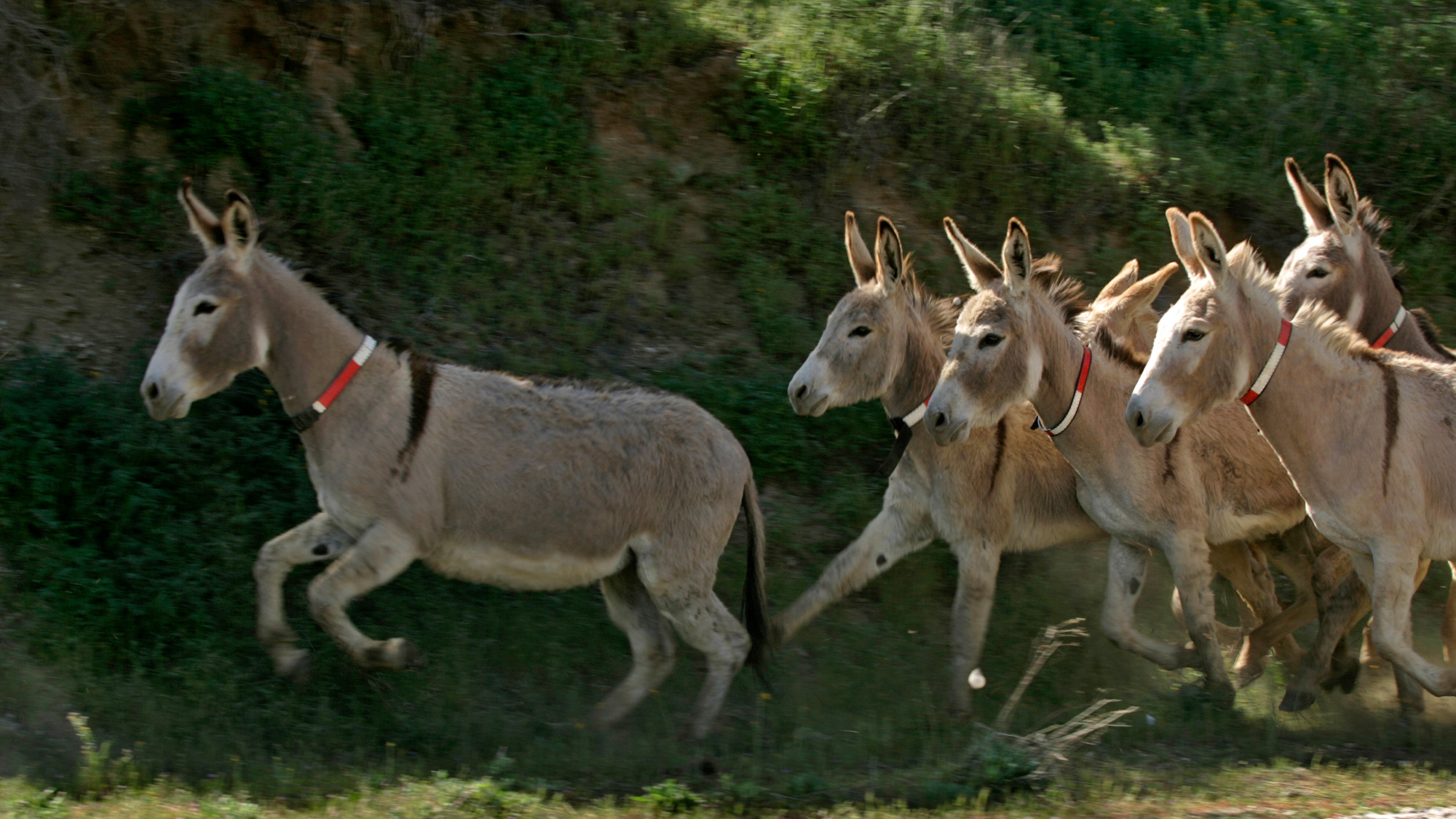 Wild burros gallop out of a corral after being collared with reflective material to make them more visible on highways.