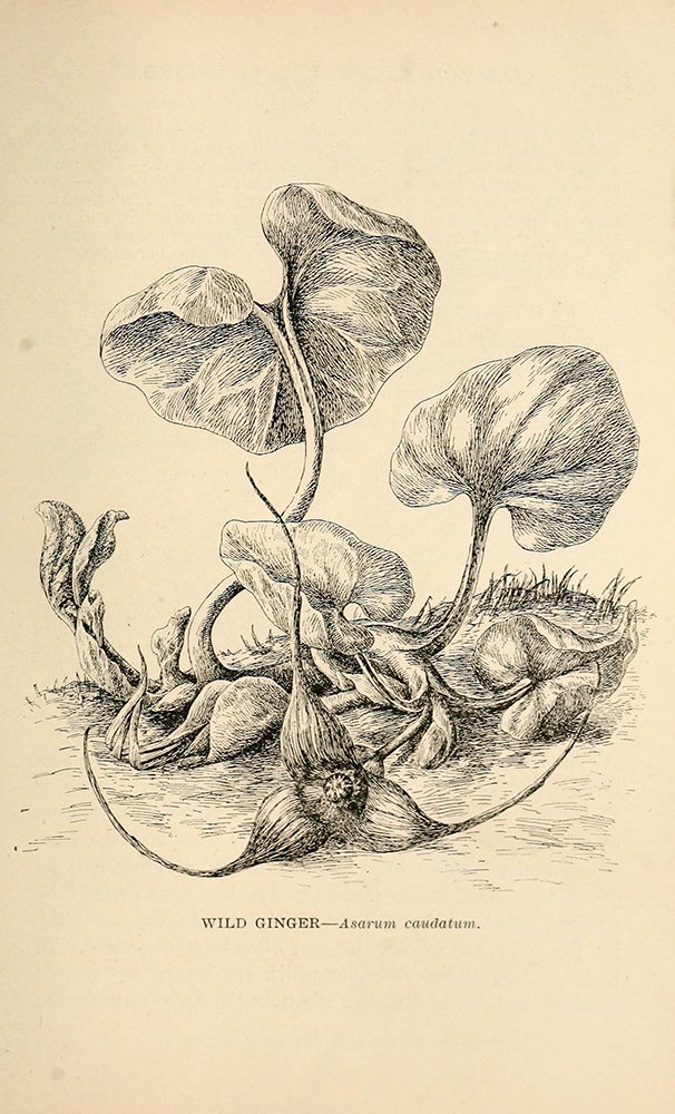 Wild Ginger | Biodiversity Heritage Library | Wildflowers of California 1902, public domain