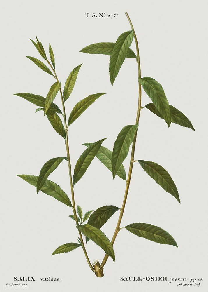 Willow | Pierre-Joseph Redouté, Traité des Arbres et Arbustes que l'on Cultive en France en Pleine Terre, 1801-1819