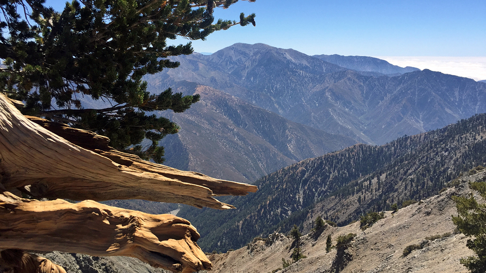 "Mount Baldy from the ""Wally Waldron"" tree, a 1,500-year-old limber pine 