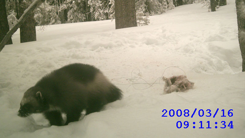 Camera trap photo of a wolverine in the Tahoe NF   Photo: CDFW