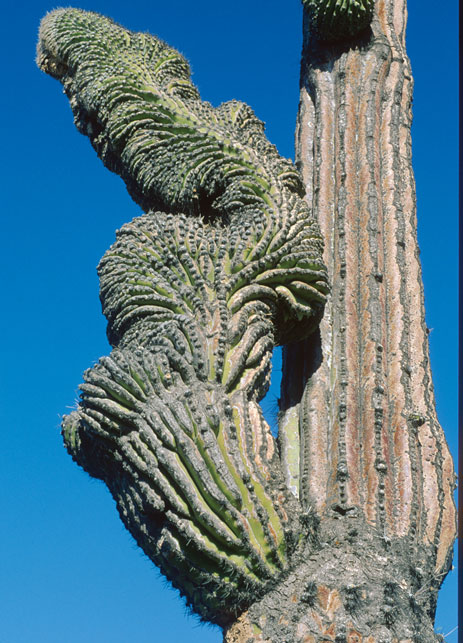 A heavily-crested arm of Pachycereus pringlei near the small town of Cataviña, Baja California, Mexico. 1976.
