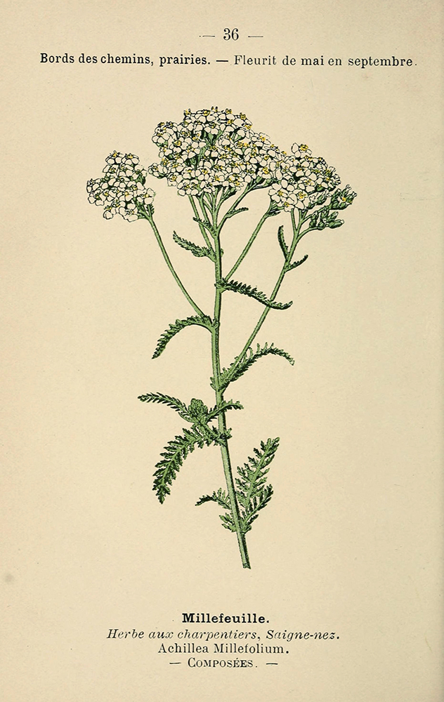 Yarrow | Biodiversity Heritage Library | Atlas de poche des plants des champs des prairies et desbois, 1894, public domain