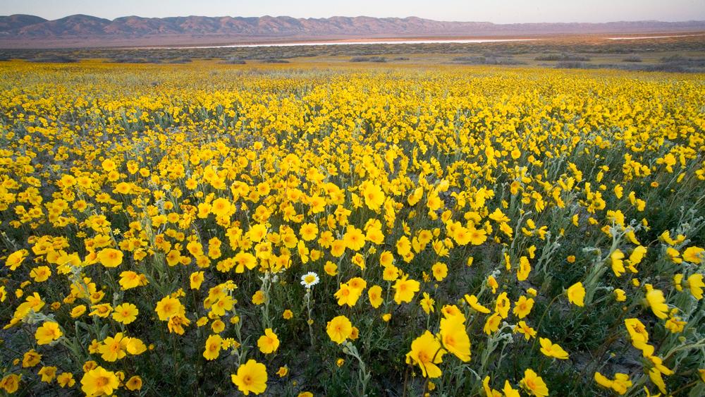 Yellow flowers at Carrizo Plain | Photo: Bob Wick/BLM