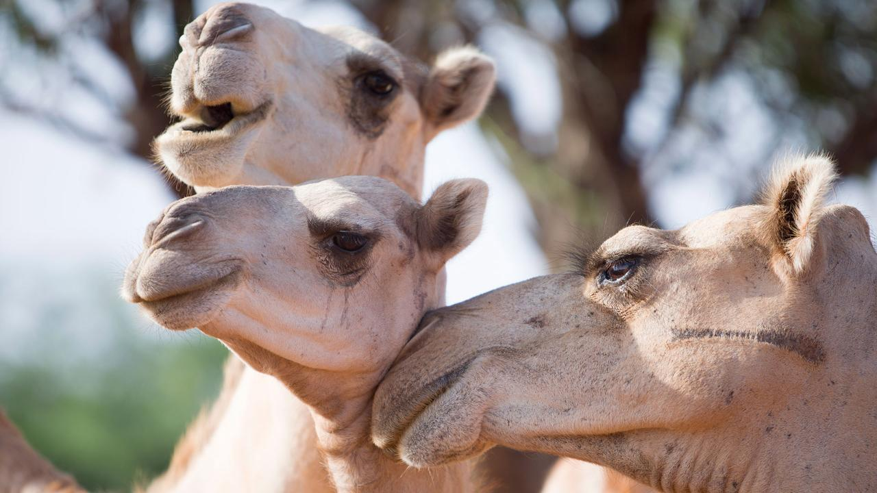 Dairy Alternatives: Drought Creates Market for Camel Milk in Eastern Africa