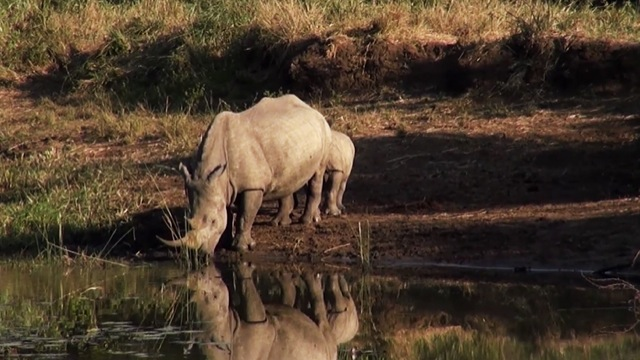 New Rhino Threat: Coal