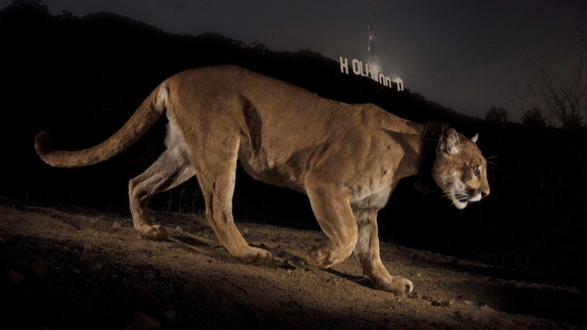 A Tale of Two Mountain Lions