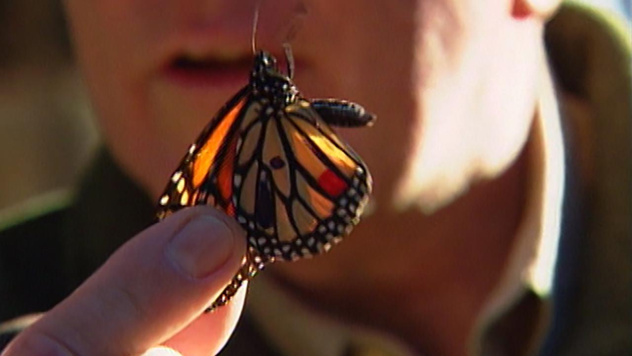 California's Gold: Monarchs